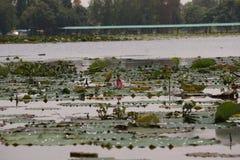 Thaise lotusbloem Royalty-vrije Stock Afbeelding