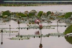 Thaise lotusbloem Stock Afbeelding