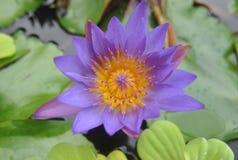Thaise lotusbloem Stock Foto's