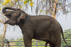 Thaise Olifant Royalty-vrije Stock Foto
