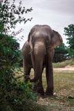 Thaise olifant in Aard Royalty-vrije Stock Afbeeldingen