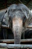 Thaise Olifanten Royalty-vrije Stock Afbeeldingen