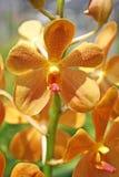 Thaise Orchidee bloem-26 Stock Afbeelding