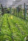 Thaise Orchidee bloem-17 Royalty-vrije Stock Afbeeldingen