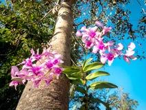 Thaise orchideebloem op grote boom 03 stock foto's