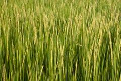 Thaise rijst Stock Fotografie