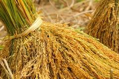 Thaise rijst Royalty-vrije Stock Foto's