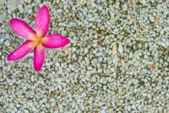 Thaise roze plumeriabloemen met zand en waterbackground royalty-vrije stock fotografie