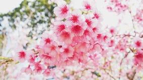 Thaise roze sakura Royalty-vrije Stock Foto