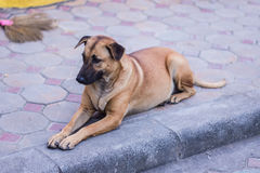 Thaise Verdwaalde hond Royalty-vrije Stock Afbeeldingen