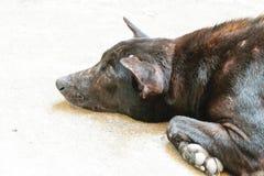 Thaise zwarte hond Stock Foto