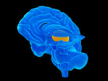 The thalamus Stock Photography
