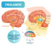 Thalamus vector illustration. Labeled medical diagram with brain structure. Educational scheme with isolated callosum, hippocampus, pituitary gland and medulla vector illustration