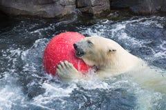 Thalarctos Maritimus powszechnie znać jako niedźwiedź polarny (Ursus maritimus) obrazy stock