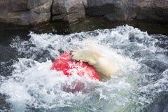 Thalarctos Maritimus powszechnie znać jako niedźwiedź polarny (Ursus maritimus) fotografia stock