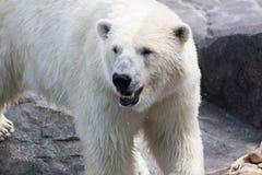 Thalarctos Maritimus powszechnie znać jako niedźwiedź polarny (Ursus maritimus) zdjęcie royalty free