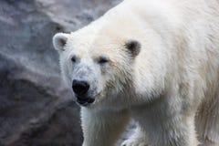 Thalarctos Maritimus powszechnie znać jako niedźwiedź polarny (Ursus maritimus) obraz royalty free