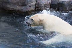 Thalarctos Maritimus powszechnie znać jako niedźwiedź polarny (Ursus maritimus) obraz stock