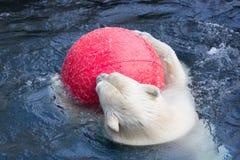 Thalarctos Maritimus powszechnie znać jako niedźwiedź polarny (Ursus maritimus) zdjęcie stock