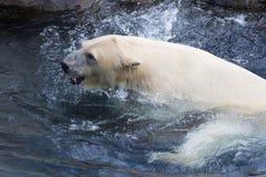 Thalarctos Maritimus powszechnie znać jako niedźwiedź polarny (Ursus maritimus) zdjęcia royalty free