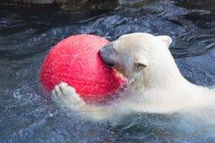 Thalarctos Maritimus powszechnie znać jako niedźwiedź polarny (Ursus maritimus) fotografia royalty free