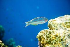 thalassoma för rött hav för fiskklunzingeri Arkivbild