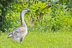Thalat Goose Stock Photos