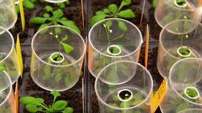 Thale cress Arabidopsis thaliana eksperymentalny, wzorcowa laborancka phytotron kultywacja, odżywki pudełko, wzrostowa sala, ja obraz stock