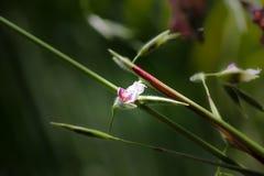 Thalia dealbata J.fraser. flower Stock Photos