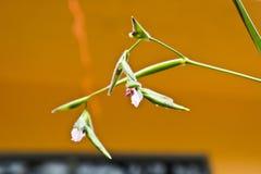 Thalia geniculata Stock Images