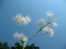 Thalictrum aquilegifolium, family Ranunculaceae Stock Photography