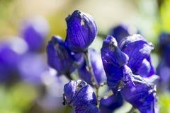 Thalictrum aquilegiifolium Stock Photography
