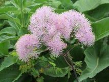 Thalictrum aquilegiifolium Stock Images