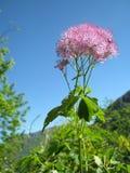 Thalictrum aquilegiifolium Royalty Free Stock Images