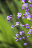 Thalictrum delavayi flowers. Thalictrum delavayi flowers in Scotland stock images