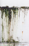 Thallophytic plant. Green  thallophytic plant on white wall saw stain Stock Photos