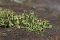 Thallus и apothecium лишайника чашки Стоковое Фото