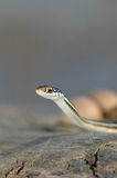 Thamnophis proximus Stock Images