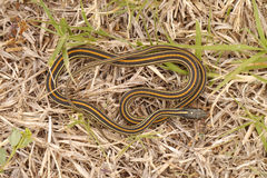 Thamnophis sirtalis obrazy royalty free