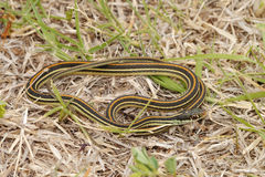Thamnophis sirtalis Stock Image