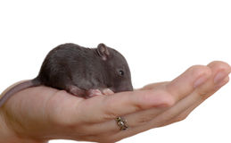 It is less than palm. Very small young rat on a palm Royalty Free Stock Photography