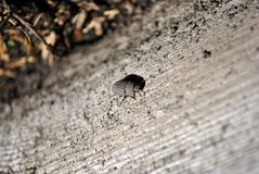 Thanatophilus rugosus Silphidae, large carrion beetle, carrion beetle, burying beetle black bug sitting on gray blurry wood. En horizontal texture background stock photos