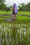 THANE INDIEN: AUGUSTI 6, 2016 - ett bondeanseende nära hans ris brukar besparingen själv från regnet Royaltyfri Fotografi