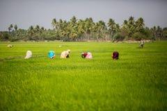 THANGAUR, ИНДИЯ 13-ОЕ ФЕВРАЛЯ: Индийский работник 13-ого февраля 2013 Стоковая Фотография RF