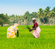 THANJAVOUR,印度- 2月13 :种植米sprou的农村妇女 免版税库存图片