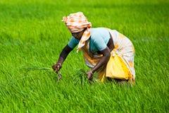Ινδικές εργασίες γυναικών στον τομέα ρυζιού Στοκ φωτογραφία με δικαίωμα ελεύθερης χρήσης