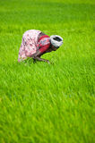 Indian woman works at rice field Stock Photos