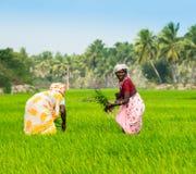 THANJAVOUR INDIA, LUTY, - 13: Wiejskie kobiety zasadza ryżowego sprou Obraz Royalty Free