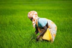 Indische Frau arbeitet am Reisfeld Lizenzfreie Stockfotos