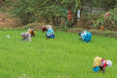 Women workers in a Tamil Nadu paddy field. Thanjavur, India - March 13, 2018: Female agricultural workers in a rice field in Tamil Nadu. Rice production is high Royalty Free Stock Photos